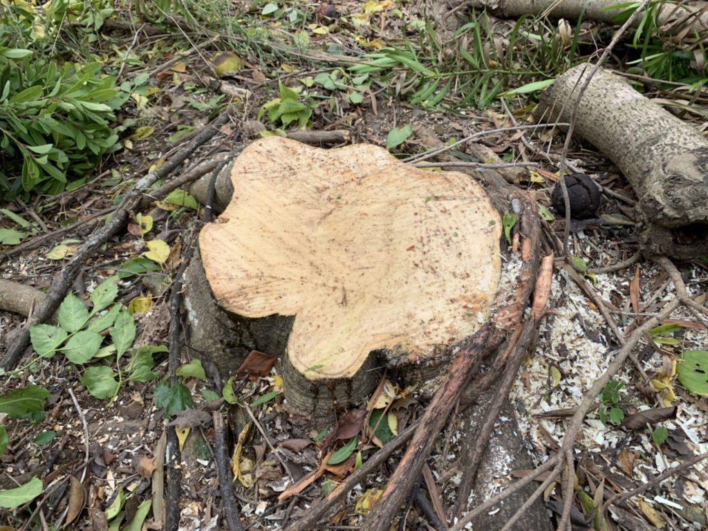 根元まで切った木
