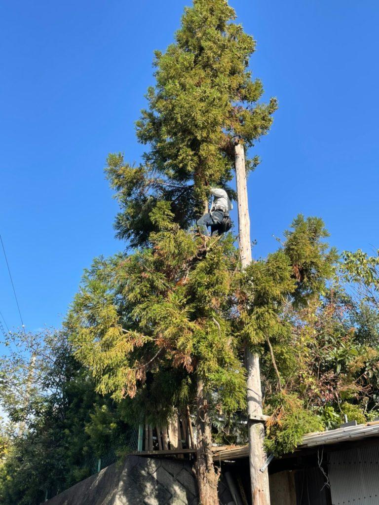 【掛川市】高木の伐採中