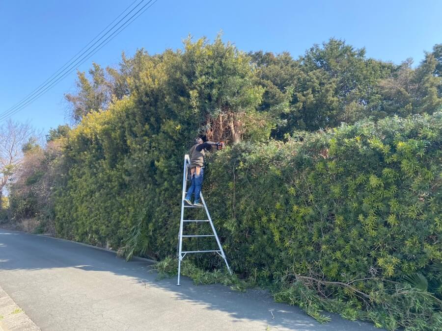 浜松市北区にある大きな生垣を剪定している