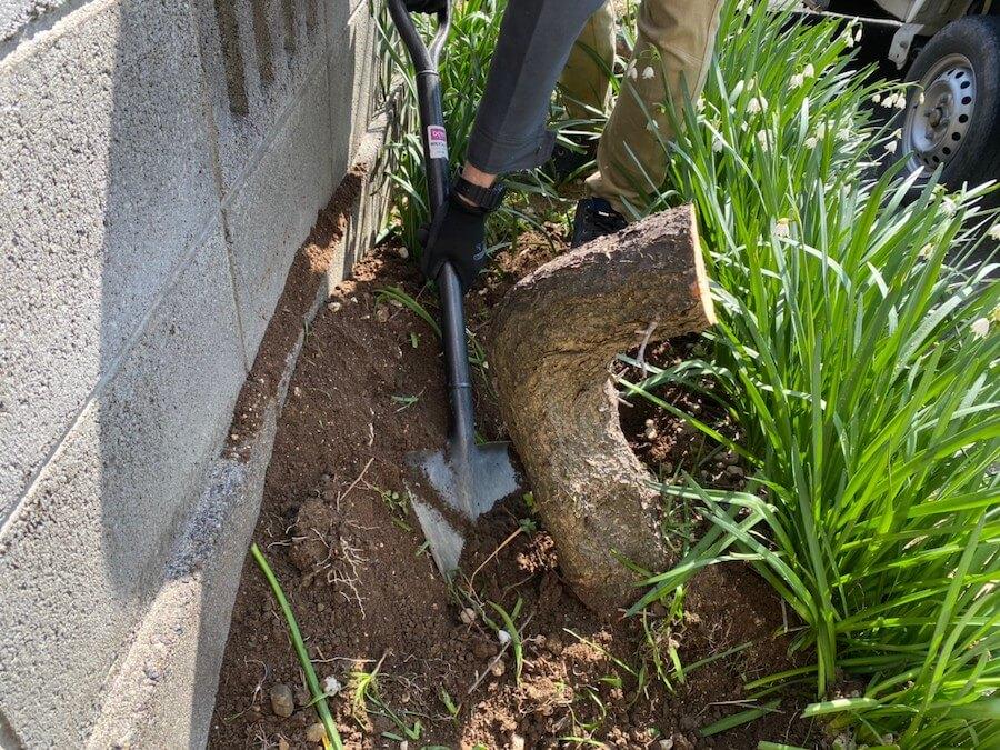 抜根のために伐採してまわりを掘る