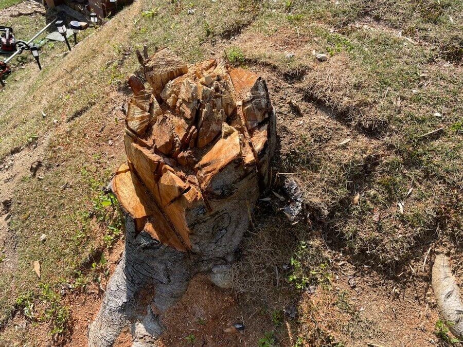 大きな木の切り株
