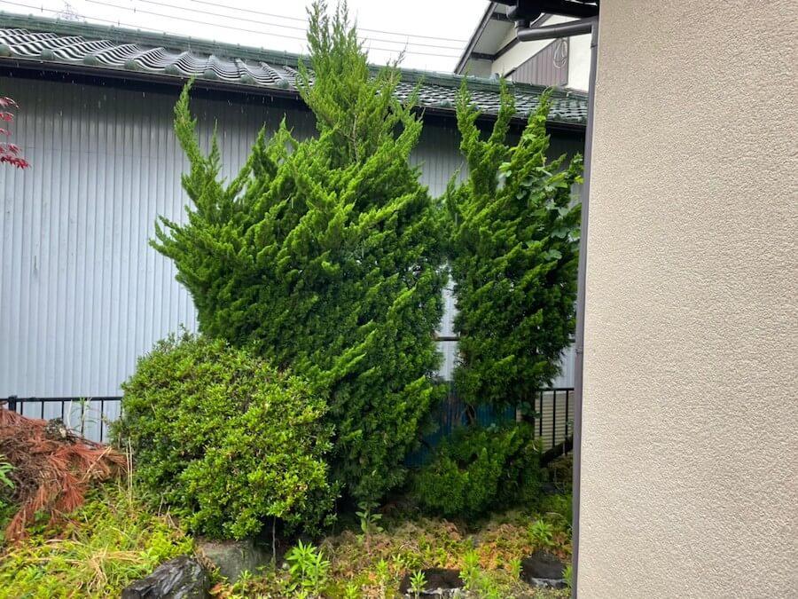 庭木の剪定前
