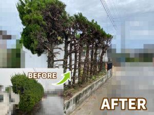 【磐田市】道路にはみ出してしまったカイヅカの木の強剪定